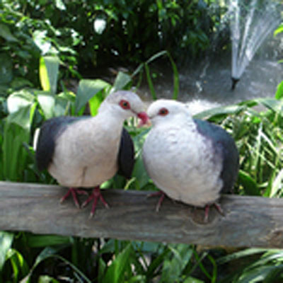 Exotische Tauben