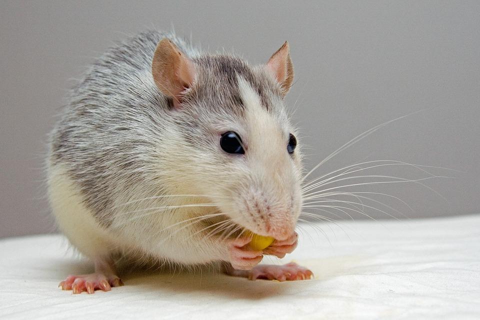 Ratten- & Mäuseköder